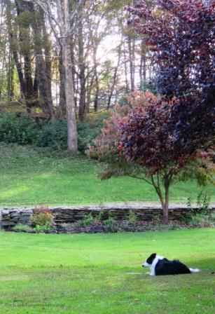 black/white border collie resting in grass