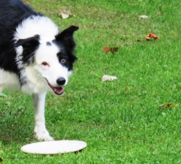 Senior black/white border collie with white frisbee on the grass with leaves