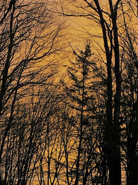 Bare silhouetted trees against golden sky
