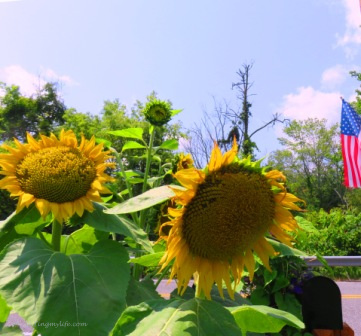 Sunflowers at black mailbox with flag