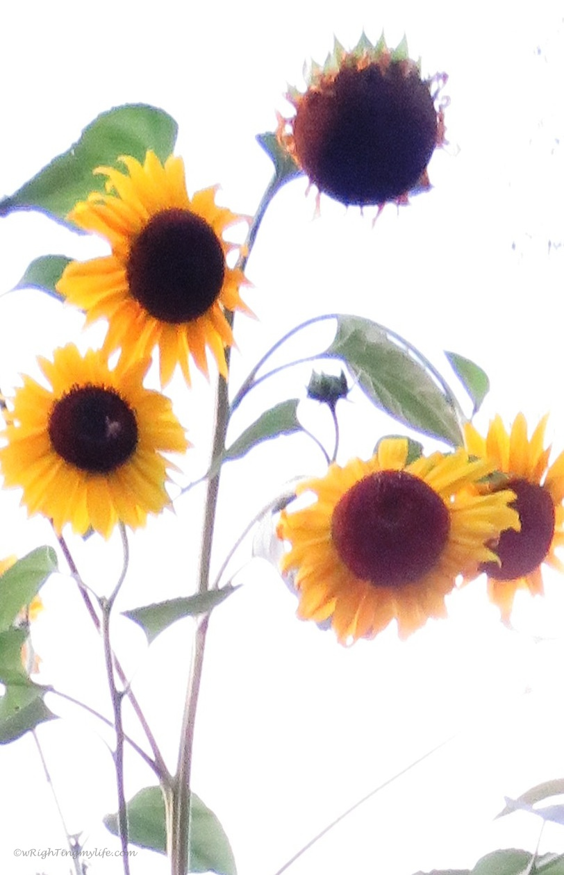 sunflowers in all stages